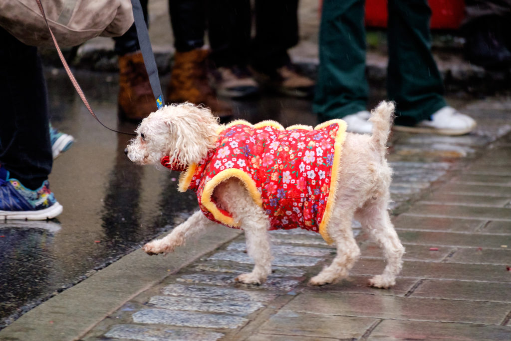 Poodle dressed in a red Chinese jacket